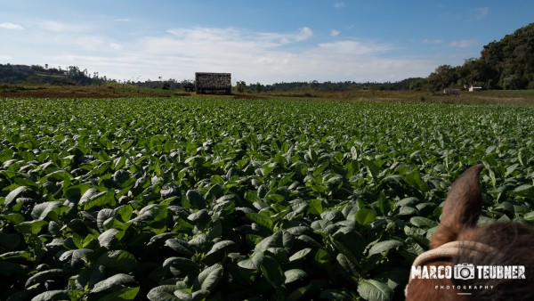 Rundreise-Kuba-Vinales-Cayo-Jutias-2 Auf dem Rücken der Pferde durch die Tabakplantage in Vinales